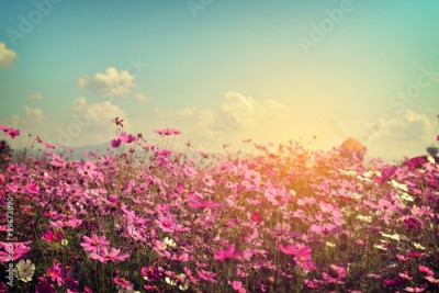 Fototapeta Landscape of cosmos flower field with sunlight. vintage color tone
