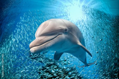 Fototapeta dolphin underwater on blue ocean background