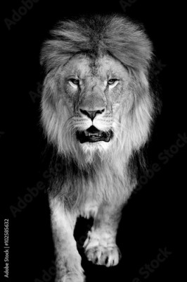 Fototapeta Lion on dark background