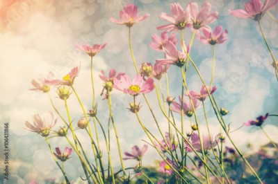 Fototapeta Cosmos flower and sunlight with vintage tone.