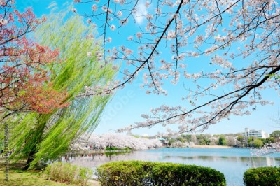 Fototapeta Beautiful scenery with red leaf, green willow, blossom sakura, clear pond and bright vivid blue sky in spring cherry blossom season, Tokyo, Japan
