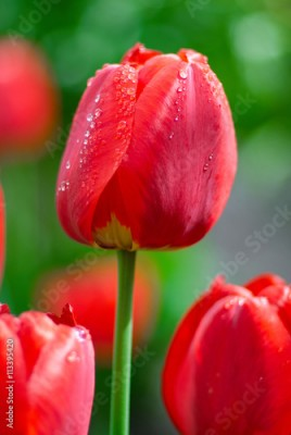 Fototapeta Fresh Spring tulips flowers with water drops in the garden