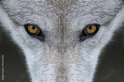 Plakat Wild gray wolf eyes in Wyoming