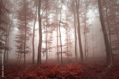 Fototapeta Magic red colored foggy forest tree landscape. Red color tone filter effect used.