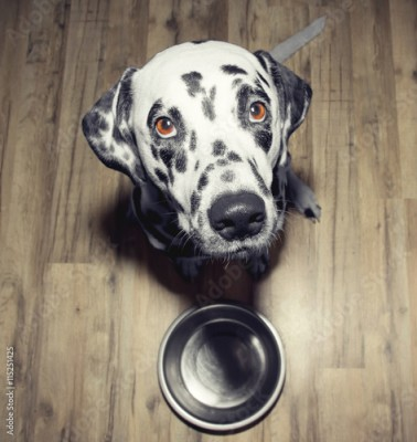 Obraz Dog is very hungry -- he is sitting next to the bowl
