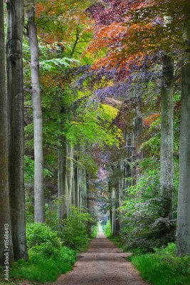 Fototapeta Walkway in a green Spring beech forest in Leuven, Belgium