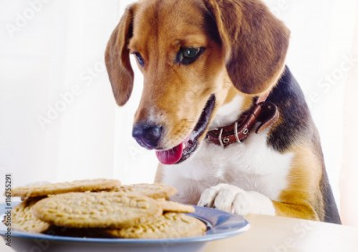 Obraz Beagle puppy and cookies on a table