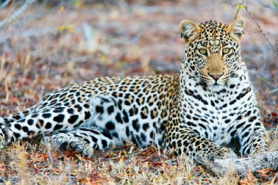 Plakat Young male leopard