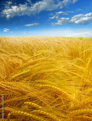 Fototapeta Wheat field against a blue sky