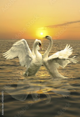 Plakat A pair of graceful swans splashing in the waves of the sea. On sunset background.