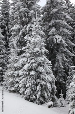 Obraz na płótnie Winter mountain forest. Fir branches covered with snow
