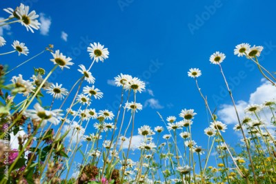 Fototapeta Summer field with different grass and daisy flowers over blue sky. View above from the ground