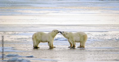 Plakat Polar Bears Greeting, Churchill, Manitoba, Canada