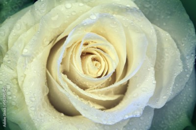 Obraz Beautiful flower rose with water drops