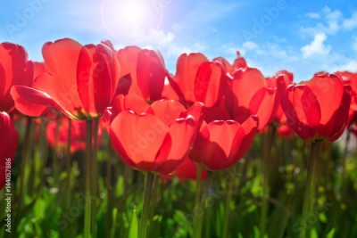 Fototapeta Red tulips in spring sun