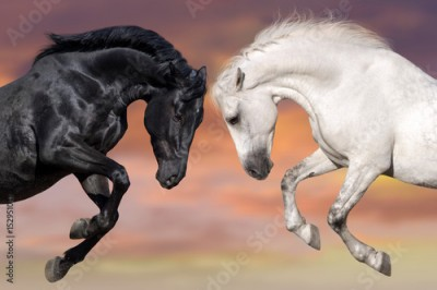 Plakat Two beautiful horse portrait in motion rearing up against sunset sky. Black and white horses.