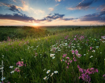 Fototapeta Flowers on the mountain field during sunrise. Beautiful natural landscape in the summer time