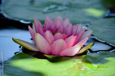 Plakat Water Lily Flower closeup