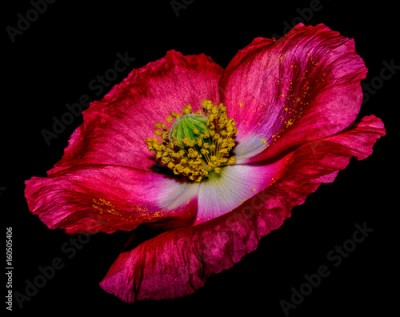 Plakat Floral fine art macro portrait of a dark red green violet flowering isolated single Iceland Poppy blossom on black background, floral surreal  painting still life style with velvet texture and pollen