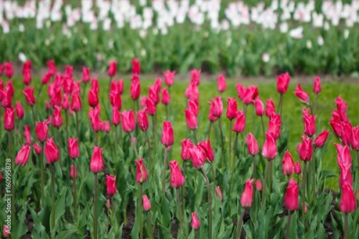 Fototapeta Plantations of Tulips miliarity decorative red . Flowers tulips Burgundy - luxury of the Dutch variety. Tulip Lily exquisite. Cup-shaped flower.