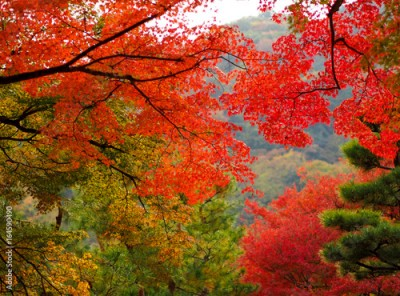 Obraz Beautiful autumn leaves in Kyoto, Japan. Maple trees are colored in burning red.