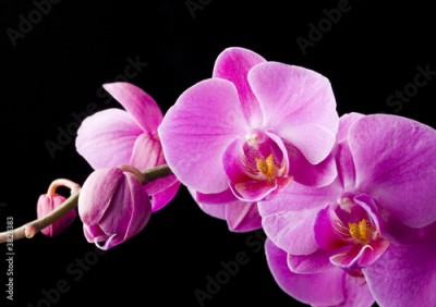 Obraz purple orchid on the black background