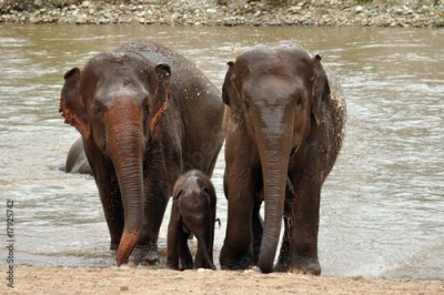 Fototapeta To elephants with baby