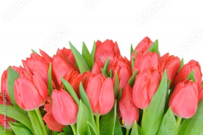 Fototapeta Tulips isolated on white background