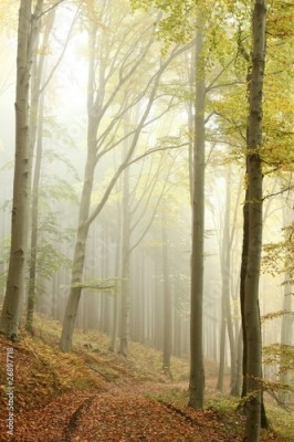 Fototapeta Lane in the misty autumnal forest in a nature reserve