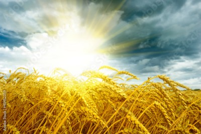 Obraz Golden sunset over wheat field