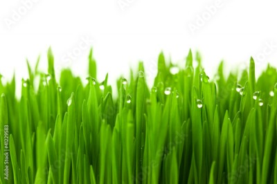 Obraz Fresh green wheat grass with drops dew / isolated on white with