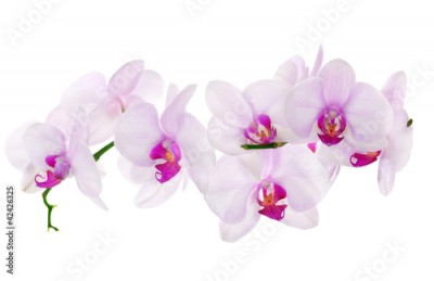 Fototapeta lot of light pink isolated orchids