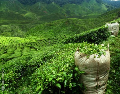 Obraz green tea plantation landscape