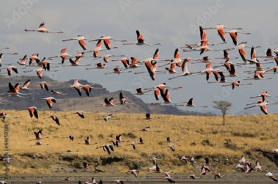 Plakat Flamingos am Lake Natron