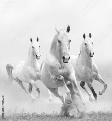Plakat white horses in dust