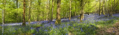 Fototapeta Magical forest and wild bluebell flowers