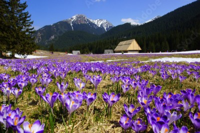 Fototapeta Crocuses in Chocholowska valley, Tatras Mountain, Poland