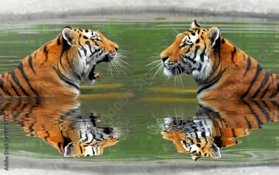 Plakat Siberian Tigers in water