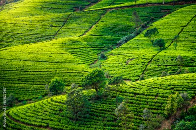 Obraz Tea plantation