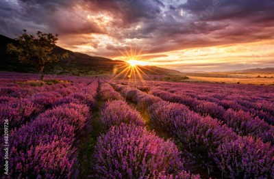 Obraz Stunning landscape with lavender field at sunrise