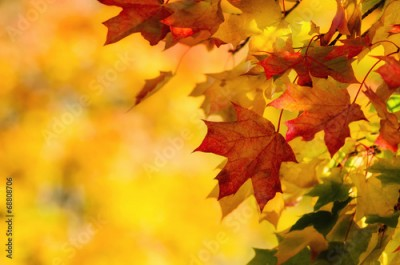 Obraz Colorful autumn maple leaves on a tree branch