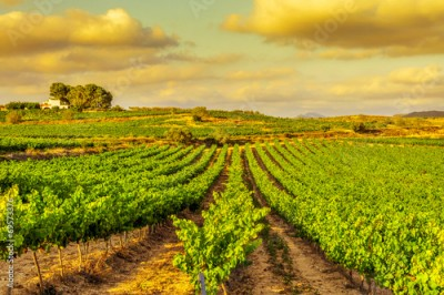 Obraz a vineyard in a mediterranean country at sunset