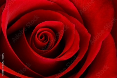 Plakat Vibrant Red Rose Close Up Macro - Abstract