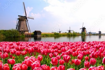 Fototapeta Pink tulips with Dutch windmills along a canal, Netherlands