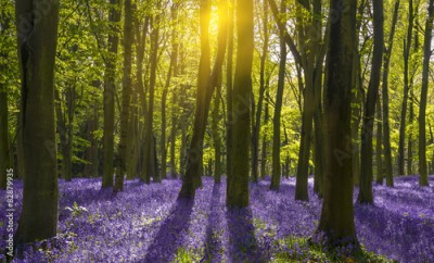 Panel Szklany Sunlight casts shadows across bluebells in a wood