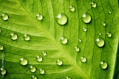 Obraz Green leaf with drops of water