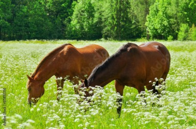 Fototapeta Two horses on meadow