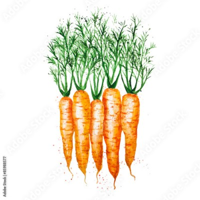 Fototapeta Vector watercolor carrots, isolated on white background