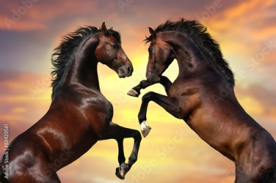 Plakat Two bay  stallion  with long mane rearing up against sunset sky