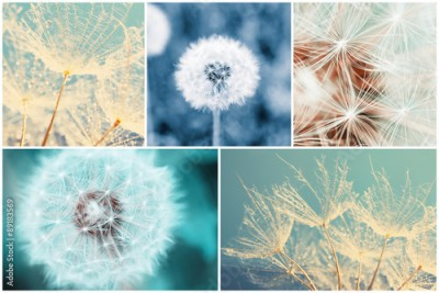 Fototapeta Beautiful nature collage with dandelion flowers